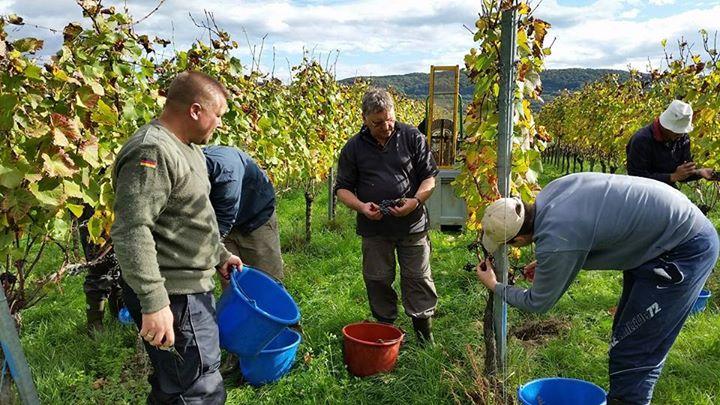 Karl H. Johner og team igang med at høste Spätburgunder druer oktober 2014 i Kaiserstuhl Baden vinbutikken.dk