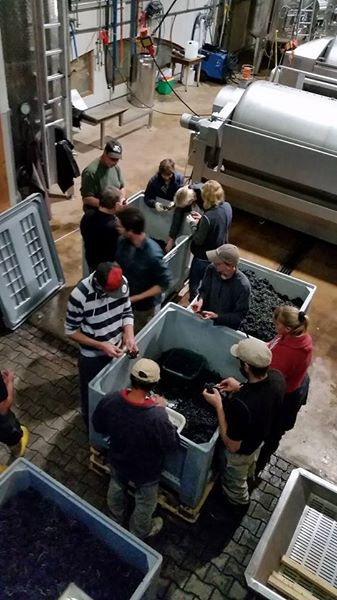 Drue sortering vinhøst 2014 i Kaiserstuhl|vinbutikken.dk